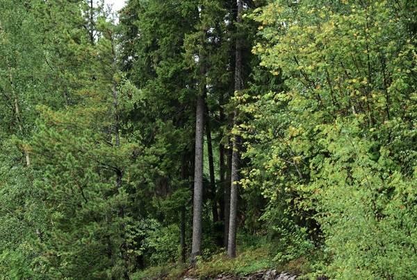 Turveien er plassert i skogen ved hjelp av detaljprosjektering og korrigering på felles befaringer. På befaringene har det vært landskapsarkitekt, botanikere, biologer og anleggsledere for å finne den optimale linjeføringen i for å bevare revehi, bevare viktig vegetasjon, byggbarhet, avrenning og turopplevelser. Foto: Andreas Nypan